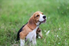 Beagle dog scratching body on green grass. Beagle dog scratching body on green grass outdoor in the park stock photo