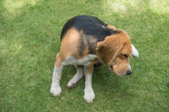 Beagle dog scratching on grass Stock Images