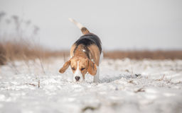 Beagle Dog Searching Royalty Free Stock Images