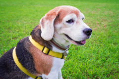 Beagle dog seats on the grass green. Beagle dog seats on the grass green in morning day Royalty Free Stock Image