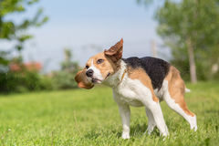 Beagle dog shaking Stock Image