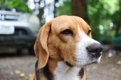 Beagle dog sits on the yard outdoor. r. Beagle dog sits on the yard outdoor ,some mosquito bite on his face royalty free stock photography