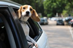 Beagle Dog having a happy ride in the car backseat. A beagle dog sitting in the car enjoying the wind. Ear flopping and having a cute smiley face Royalty Free Stock Images