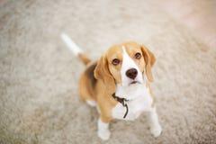 Beagle dog sitting on carpet stock image
