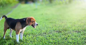 Beagle dog sitting on the green grass outdoor in the park. Beagle dog sitting on the green grass outdoor in the park on sunny day royalty free stock images