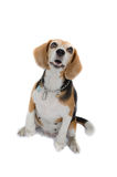 Beagle dog sitting isolate on white background Royalty Free Stock Images