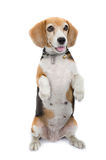 Beagle dog sitting isolate on white background Stock Images