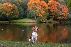 Free Beagle Dog Sitting On The Grass. Autumn Tree Background. Water And Reflection. Duck In Background. Stock Image - 102952701