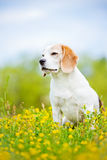 Beagle dog sitting outdoors royalty free stock photography