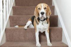 Beagle dog. Sitting on stairs Royalty Free Stock Photo