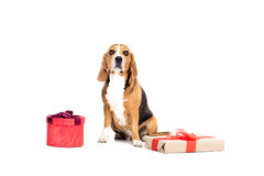 Beagle dog sitting with two present boxes Stock Photography