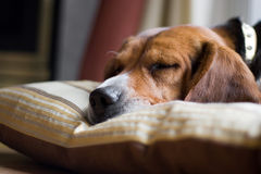 Beagle Dog Sleeping Stock Images
