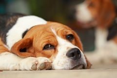 Beagle dog Sleeping and take some rest Stock Images