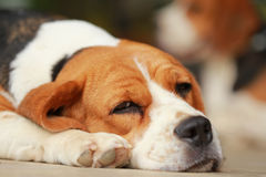 Beagle dog Sleeping and take some rest Royalty Free Stock Images