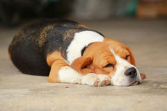 Beagle dog Sleeping and take some rest Royalty Free Stock Image