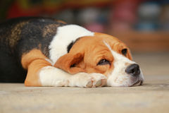 Beagle dog Sleeping and take some rest Stock Photos