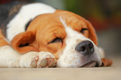 Beagle dog Sleeping and take some rest Royalty Free Stock Photography