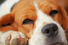Beagle dog Sleeping and take some rest Royalty Free Stock Photos