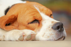 Beagle dog Sleeping and take some rest Stock Photography