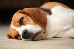 Beagle dog Sleeping and take some rest Royalty Free Stock Photo