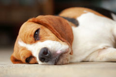 Beagle dog Sleeping and take some rest Stock Photo