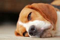 Beagle dog Sleeping and take some rest Stock Image