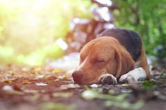 Beagle dog sleeps outdoor. Beagle dog sleeps outdoor on the ground in fall Stock Photos