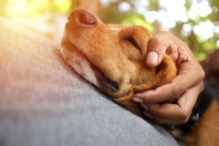 Beagle dog sleeps on the owner `s belly. Beagle dog sleeps on the owner`s belly supported by the owner`s hand stock images