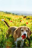 Beagle dog smelling poppy flower in spring wild flowers. Poppies among grass at sunset stock photo