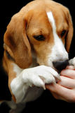 Beagle dog sniffing hand reward Stock Images