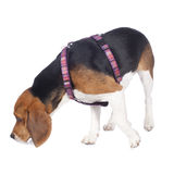 Beagle dog sniffing Royalty Free Stock Image
