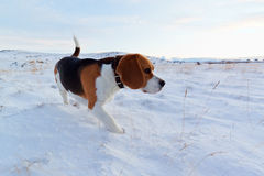 A Beagle dog in snow. A mature Beagle dog playing in the snow during a cold winter day royalty free stock photos