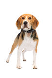 Beagle dog standing Stock Photo