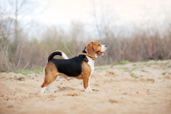 Beagle dog. Is standing in profile in the spring Stock Photo