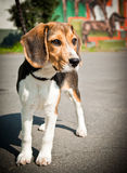 Beagle dog stands and looks. Is there any sweetier than a dog who pays attention so funny Stock Images