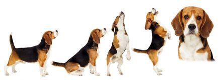 Beagle dog stands sideways in full growth. On a white background royalty free stock photography