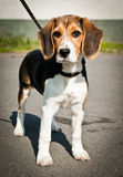 Beagle dog stands. A beagle stays and waits for you. Wants to play, all day Stock Images