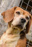 Beagle Dog. Starring at one side Royalty Free Stock Photos