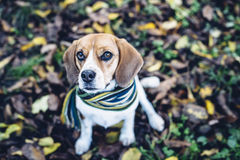 Beagle dog in striped scarf sitting on ground covered with fallen leaves in autum Royalty Free Stock Photography