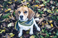 Beagle dog in striped scarf sitting on ground covered with fallen leaves in autum Royalty Free Stock Photos
