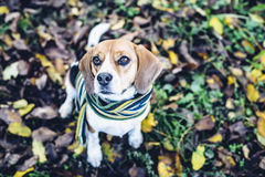 Beagle dog in striped scarf sitting on ground covered with fallen leaves in autum Stock Photography