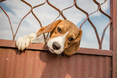 Beagle dog. Stuck his head Stock Photography