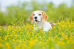Beagle dog in summer flower field Stock Image