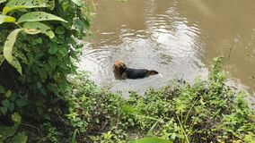 Beagle dog swimming in a pond in the wilderness
