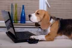 Beagle dog on the table with laptop Stock Images