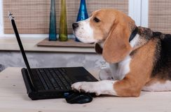 Beagle dog on the table with laptop Stock Photography