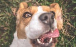 Beagle dog taking selfie stock photo