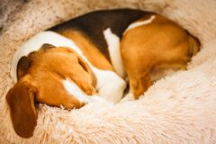 Free Beagle Dog Tired Sleeps On A Fluffy Dog Bed Curled. Pet In Home Concept Royalty Free Stock Image - 170936336