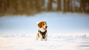 Beagle dog with tongue out on the winter snowy field on a Sunny frosty day stock photos