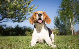 Beagle dog in training process Stock Photos